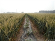 超高产 优质 小麦种子 三抗6号