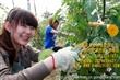 台湾兴农绑枝机|绑蔓机|葡萄绑枝机|西红柿绑枝机|黄瓜绑枝机