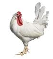 净界六个零SPF500天鸡