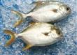 冷冻金鲳鱼(Golden Pompano)