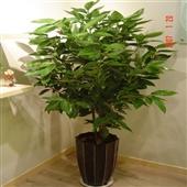 盆景-吸甲醛植物 室内盆栽 幸福树盆栽 富贵树 净化空气 平安树-盆景尽在阿里巴...