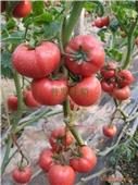 其他农作物种子、种苗-高产、精品粉果番茄——普罗旺斯-其他农作物种子、种苗尽在阿...