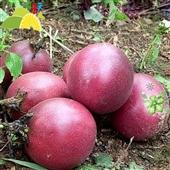 其他生鲜水果-广西特产新鲜水果 百香果 批发 鸡蛋果 西番莲 有机水果-其他生鲜...
