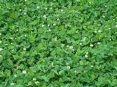 种苗、种子、种球-牧草种子 白三叶种子 包衣白三叶草种子 进口白三叶种子 草坪种...