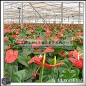 室内花卉_室内观花植物 绿化花卉 红掌 红色 粉色 -