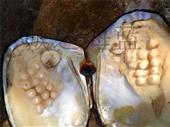 贝类-诚之海蓝 大量供应 活体珍珠蚌 珍珠大蚌 珍珠母贝 促销-贝类尽在...